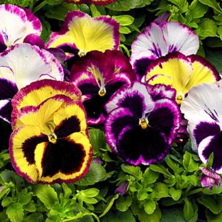 Цветы двулетние